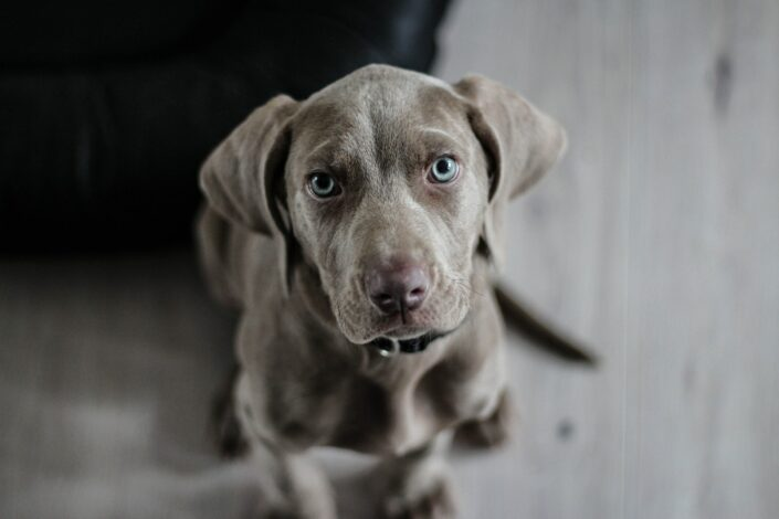 Puppy looking into the camera.