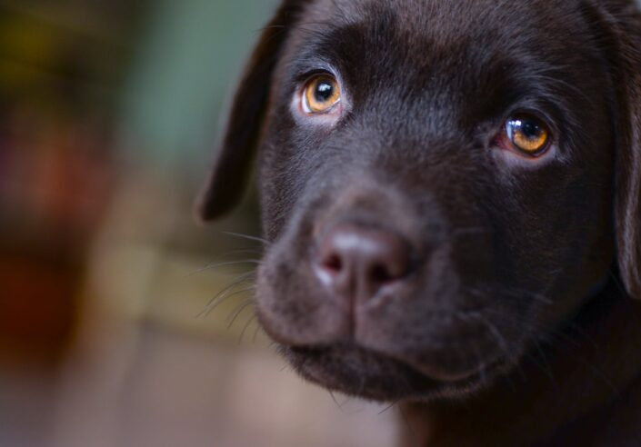 Chocolate Labrador puppy.