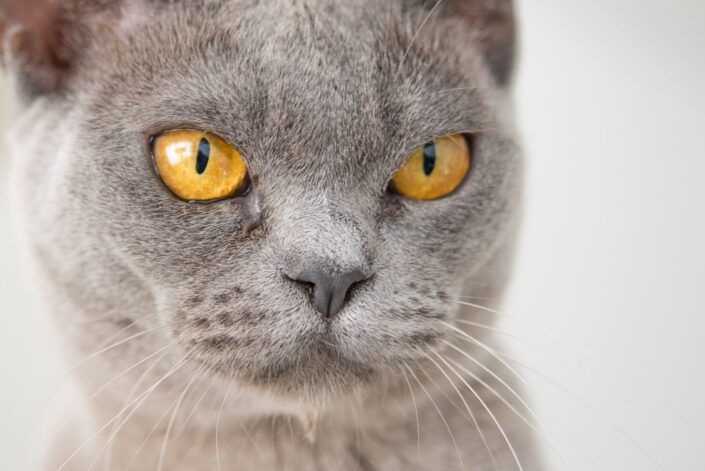 English Blue cat.