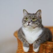 Grey and white Cat in a wicker basket.