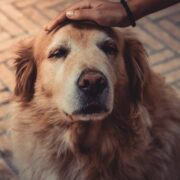 Older Golden Retriever Dog being petted.