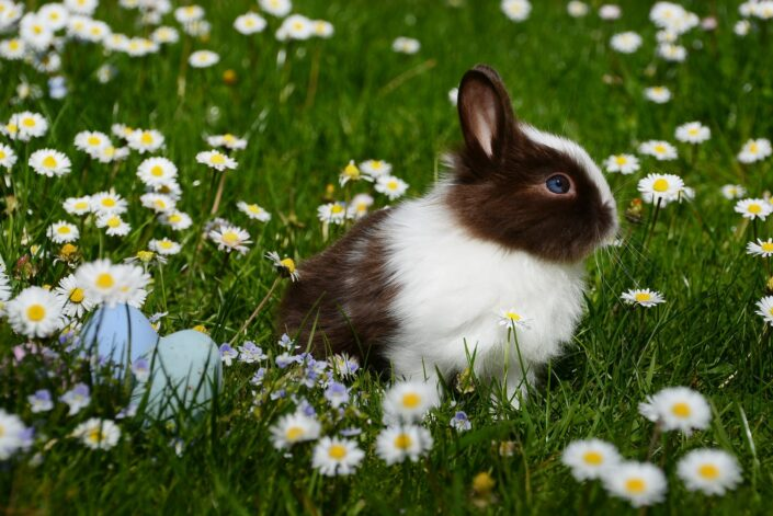 Brown and White Dutch Rabbit.