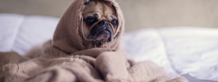 Small Pug in a brown blanket.